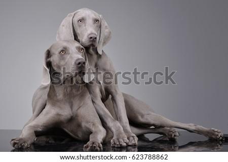 Studio shot of two adorable Weimaraner lying on grey background. #623788862