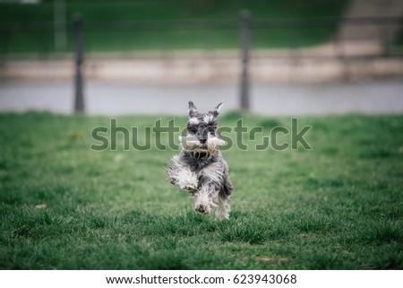 Beautiful Schnauzer running in a dog park #623943068