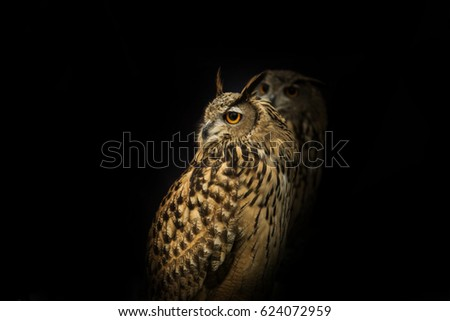 Face owl against a black background