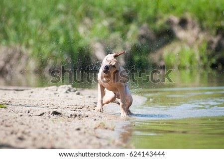 Pitbull terrier beige color overflowing after swimming in lake #624143444