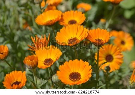 Orange flowers (Calendula)