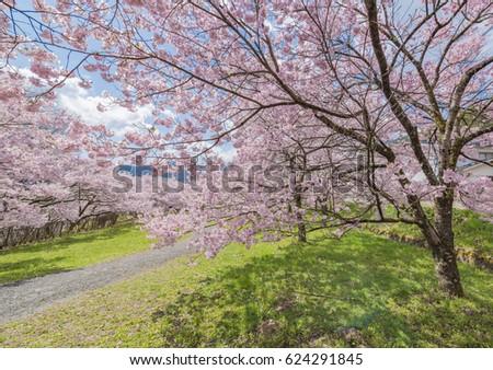 Cherry Blossom in Takato Castle Site Park #624291845