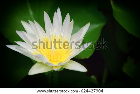 Beautiful lotus flower in the pond #624427904