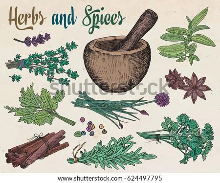 beautiful hand drawing healthy herbs and spices mortar. Herbs, basil, chervil, chives, cilantro, coriander, dill, mint, oregano, parsley, rosemary, rocket, sage, tarragon, thyme #624497795