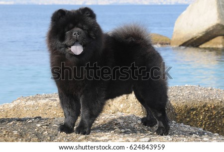 Portait of black Chow Chow dog, Canis lupus familiaris. #624843959