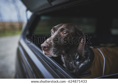 a hunting dog in the back of a truck Royalty-Free Stock Photo #624871433