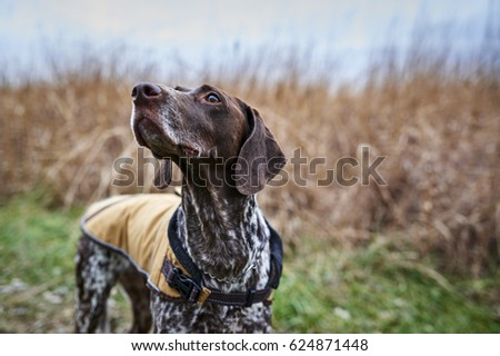 a hunting dog in a field Royalty-Free Stock Photo #624871448
