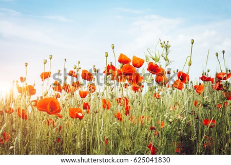 Close up poppies on field. Wild flowers in springtime. Fantastic day and gorgeous scene. Location rural place of Ukraine, Europe. Explore the world's beauty. Retro and vintage style. Instagram effect.