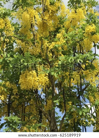 Cassia fistula or Golden rain tree or Canafistula or Golden shower tree or Ratchaphruek flower. #625189919
