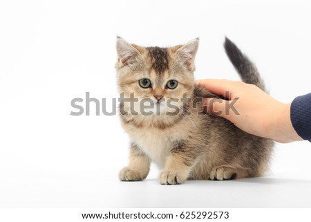 Little cute kitten striped in the hands of a man on a white background. #625292573