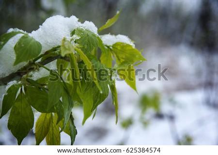 Snow in April #625384574