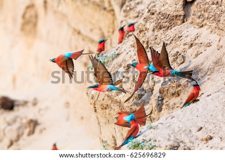 Northern Carmine Bee-eater in South Luangwa NP - Zambia #625696829