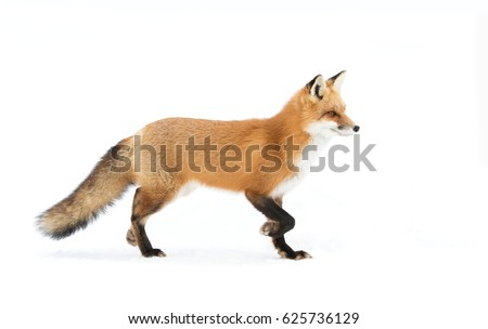 Red fox (Vulpes vulpes) with a bushy tail  isolated on white background hunting through the freshly fallen snow in winter in Algonquin Park, Canada #625736129