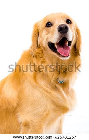 White background shot golden dog #625781267