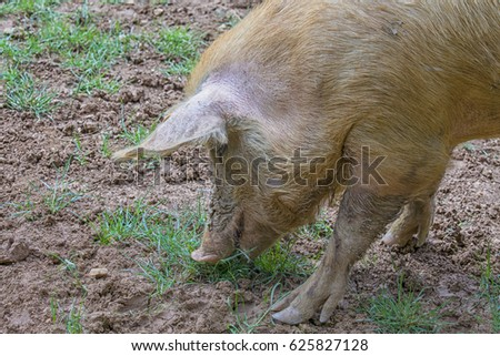 Close up of a pig standing in the mud of an organic farm in Italy #625827128