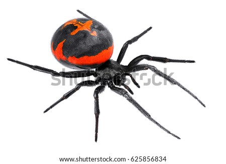 Spider Latrodectus tredecimguttatus, sometimes known as the Mediterranean black widow, the European black widow, or the steppe spider (genus Latrodectus), isolated on a white background #625856834