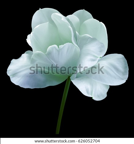 Turquoise flower tulip on black isolated background with clipping path. Close-up.  no shadows. Shot of White Colored. Nature.  #626052704