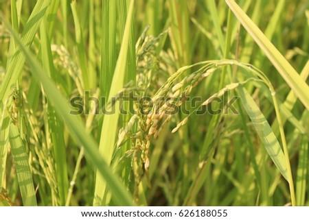 rice #626188055