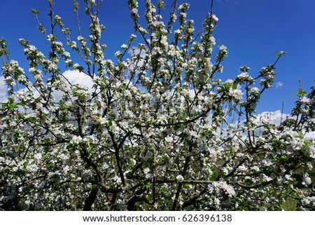 Tuscan countryside, Maremma, Close up view of apple tree branches in bloom. #626396138