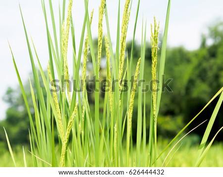 Green rice plants in paddy field #626444432