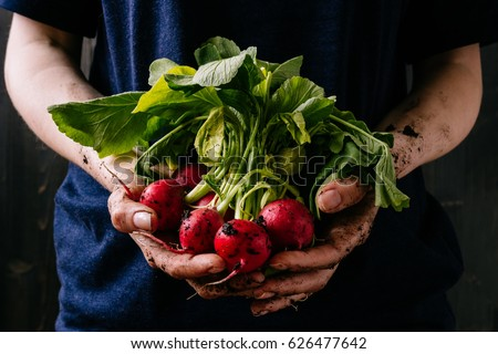 Organic fresh harvested vegetables. Farmer's hands holding fresh radish, closeup. Royalty-Free Stock Photo #626477642