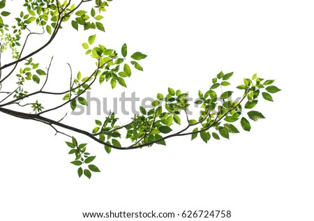 tree branch isolated Royalty-Free Stock Photo #626724758