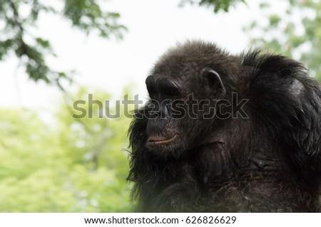 Chimpanzee looking left. #626826629