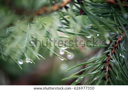 Green branch of pine tree with water drops. #626977310