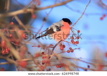 Eurasian bullfinch eating an crab apples. Spring blue sky. #626998748