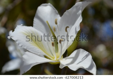 Flowering bauhinia  in Spain. Orchid tree is a variety of orchids. Against the background of the blue sky, bright white flowers with red and green insets. Relaxation, contemplation, beauty..  #627008213