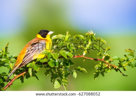 Cute bird. Green nature background. Bird on green branch. Black headed bunting