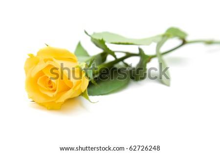 single yellow rose; isolated on white background;