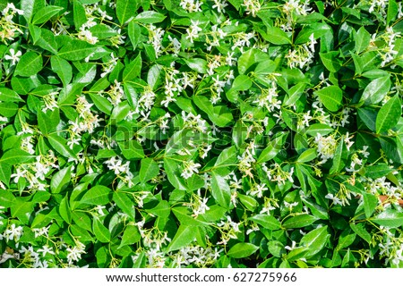 Jasmine flowers bloom in the morning  #627275966