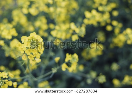 Rapeseed flower field in north Poland/ Yellow Flowers Field #627287834