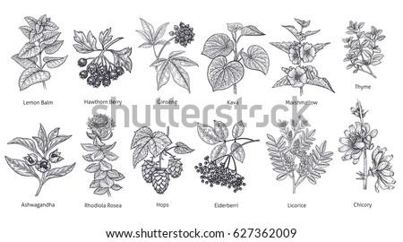 Medical herbs and plants big set. Lemon Balm, Hawthorn Berry, Rhodiola Rosea, Kava, Licorice, Marshmallow flower, Chicory, Ashwagandha, Hops, Thyme. Vector illustration art. Black and white. Vintage. #627362009