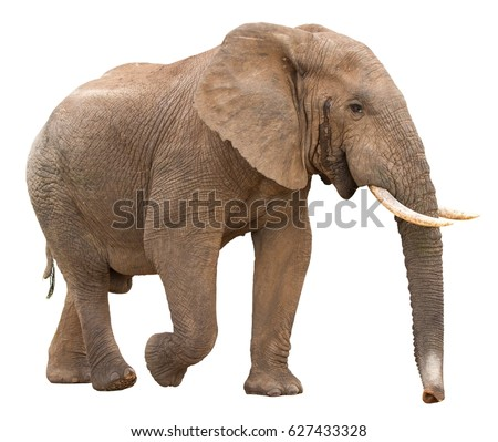 Large African Elephant isolated on white background