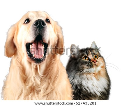Cat and dog together, siberian, golden retriever looks top, isolated on white. #627435281