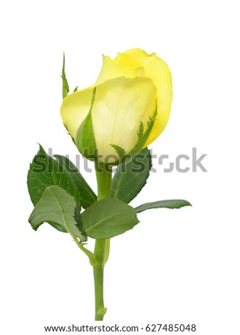 beautiful yellow rose flower isolated on white background #627485048