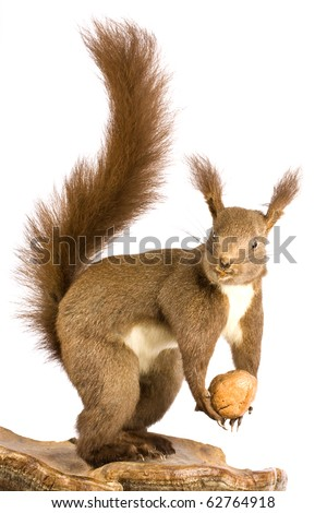 Eurasian red squirrel - Sciurus vulgaris in front of a white background #62764918