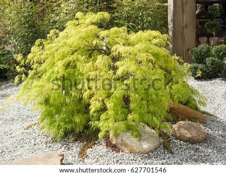 Japanese Maple - Acer palmatum dissectum 'Viridis' #627701546
