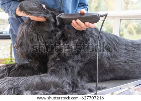 Initiation of grooming of the Giant Black Schnauzer dog. All potential trademarks are removed. #627707216