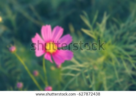 background pink cosmos flowers in the summer. #627872438