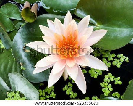 Lotus Flower or water lily close up shot background #628355060