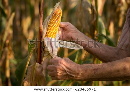 Close up of an elderly woman's hands holding a corn cob ready for harvest #628485971