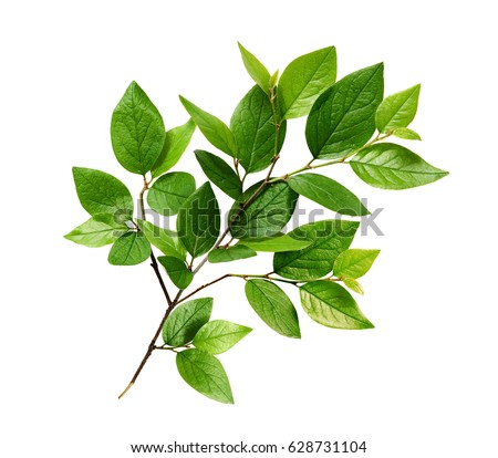 Green leaves on branch isolated on white #628731104