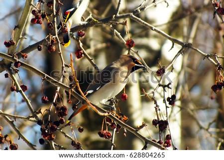 Waxwing eating berries on the tree, winter survival, flocks of birds, feeding birds #628804265