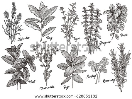 Group of herbs and spices illustration, drawing, engraving, ink, line art, vector #628851182