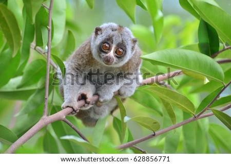 Bengal Slow Loris in tropical jungle Royalty-Free Stock Photo #628856771