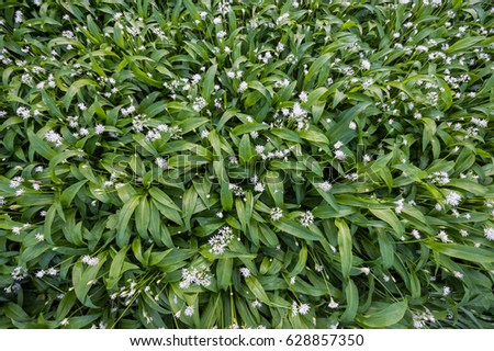 Wild garlic Bluebells in April in Ireland #628857350