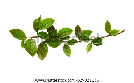 Fresh green leaves on branch isolated on white background #629021135